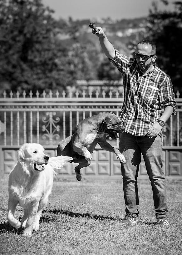 Novio juega con perros. Bóxer